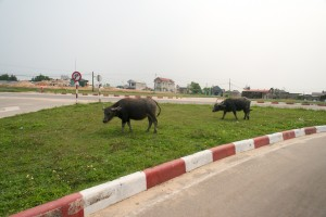 Water buffalo wander everywhere.