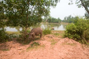 Water buffalo are everywhere